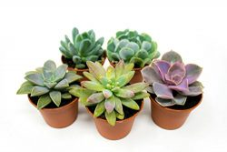 Succulent Plants (5 Pack), Fully Rooted in Planter Pots with Soil – Real Live Potted Succu ...