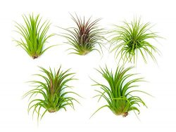 6 Low Light Air Plants – Pack of Low Light House Plants (One Species of Live Tillandsia Tr ...